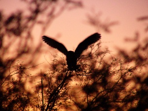 Owl at LCB at Sunset - Schrody efoto
