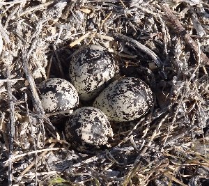 Killdeer Nest in Fernely NV