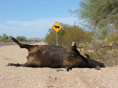 Caution - Beefsteak ahead. Cattle Crossing or